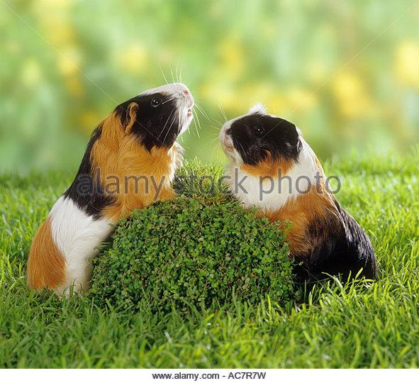 Rex Guinea Pig Meadow Stock Photos & Rex Guinea Pig Meadow Stock.