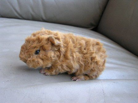 1000+ ideas about Guinea Pigs on Pinterest.