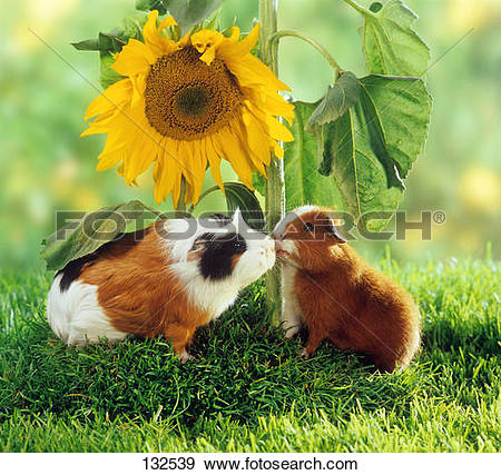 Stock Photograph of Rex guinea pig and short.