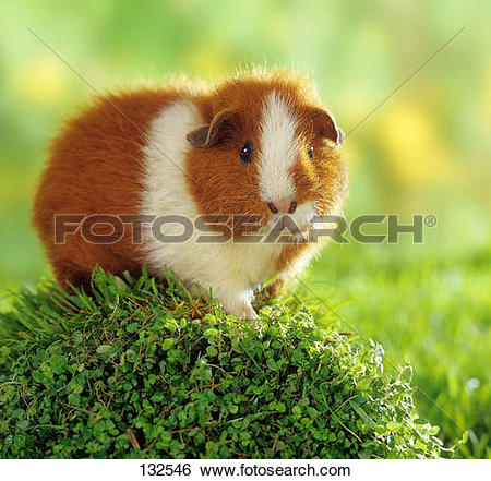 Stock Images of Rex guinea pig on plant 132546.