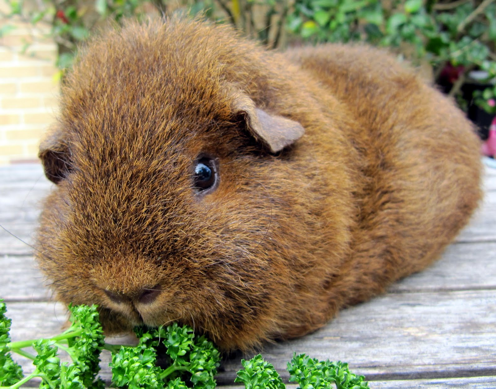 1000+ images about Guinea Pigs on Pinterest.