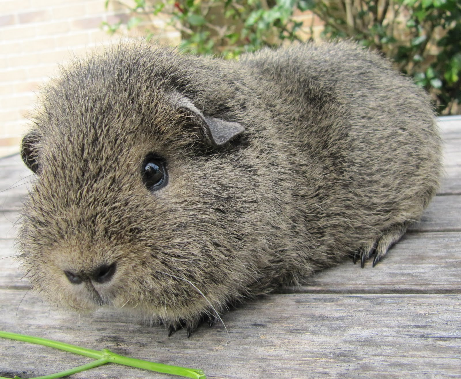 1000+ images about Guinea Pig Breeds on Pinterest.