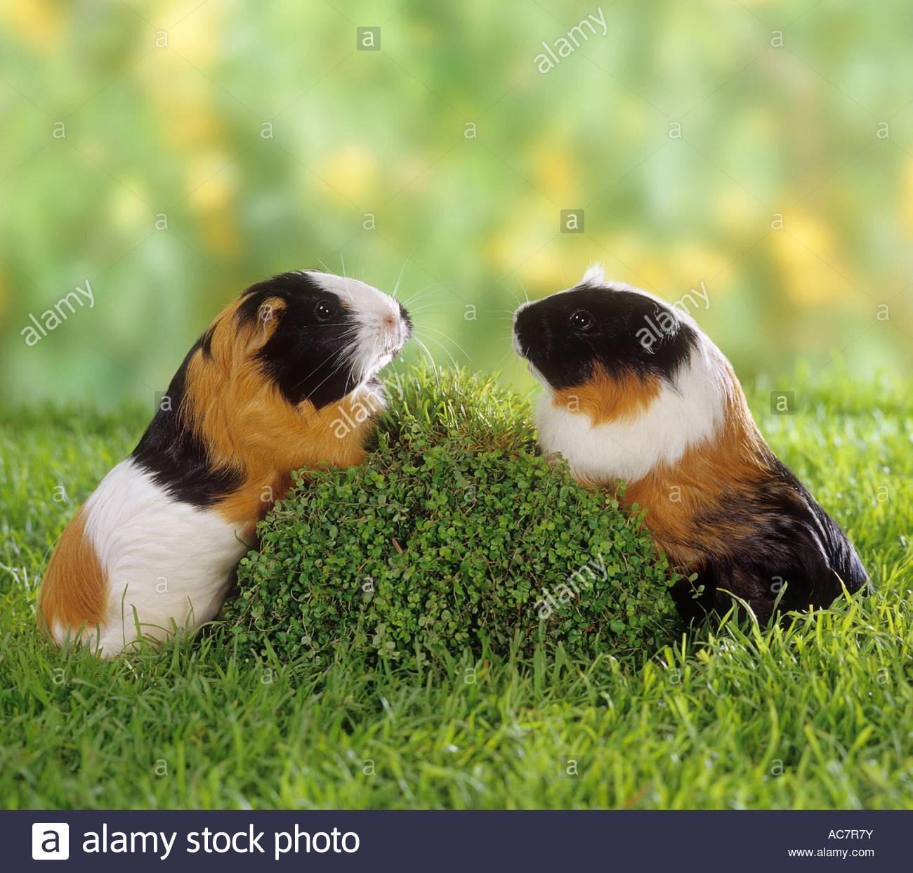 short hair guinea pig.