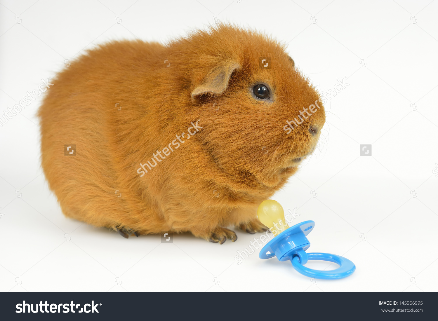 Usteddy Guinea Pig Pacifier Side View Stock Photo 145956995.