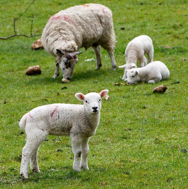 Free photo White Animals Goats Furry Lambs Mammals Sheep.