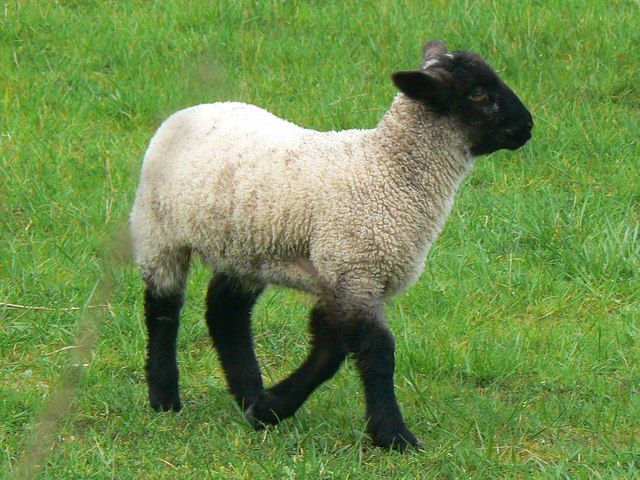 1000+ ideas about Black Faced Sheep on Pinterest.