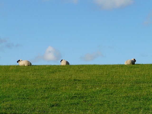 Free pictures SHEEP.
