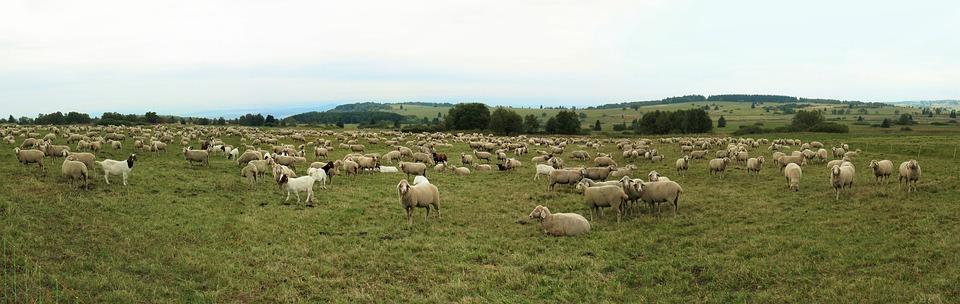 Free photo Rhön Goats Quadruped Schäfer Autumn Sheep Flock.