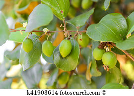 Rhamnaceae Stock Photos and Images. 40 rhamnaceae pictures and.