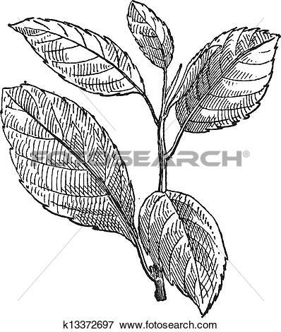 Clip Art of Common Buckthorn or Rhamnus cathartica, vintage.