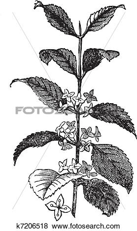 Clip Art of Buckthorn or Rhamnus cathartica, vintage engraved.