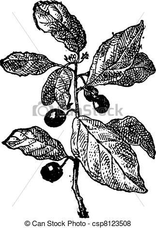 Vector of Rhamnus or Buckthorns, vintage engraving..