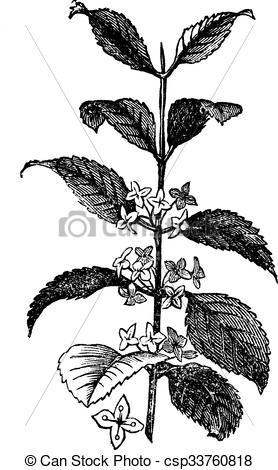 Vector Clip Art of Buckthorn or Rhamnus cathartica, vintage.