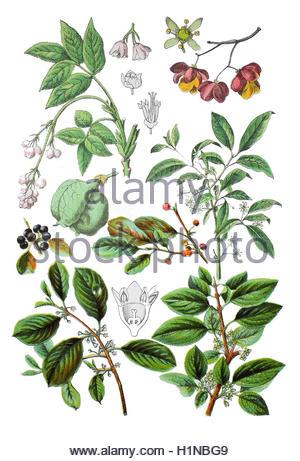 Common Buckthorn (rhamnus Frangula Stock Photo, Royalty Free Image.
