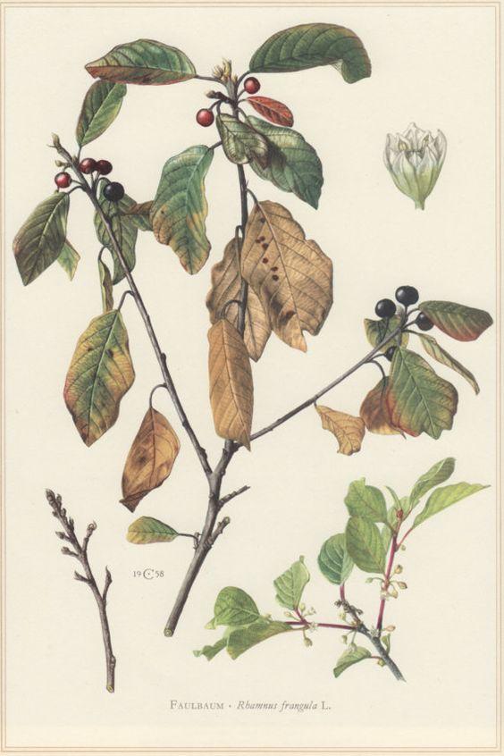 1960 Vintage Botanical Print, Rhamnus frangula, Alder Buckthorn.