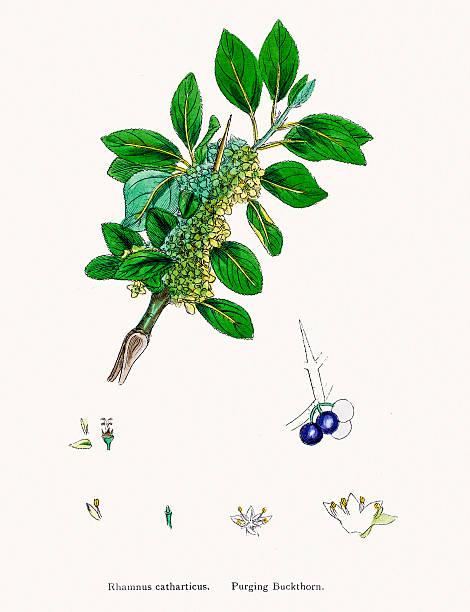 Rhamnus Frangula, (Frangula Alnus) Clip Art, Vector Images.