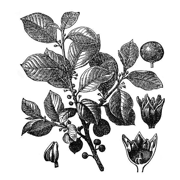 Glossy Buckthorn Clip Art, Vector Images & Illustrations.