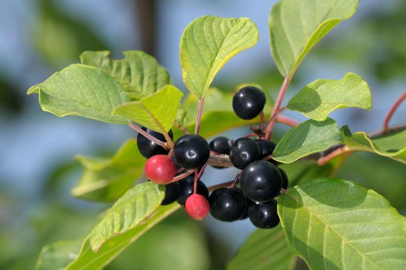 Alder Buckthorn Plants for Sale.