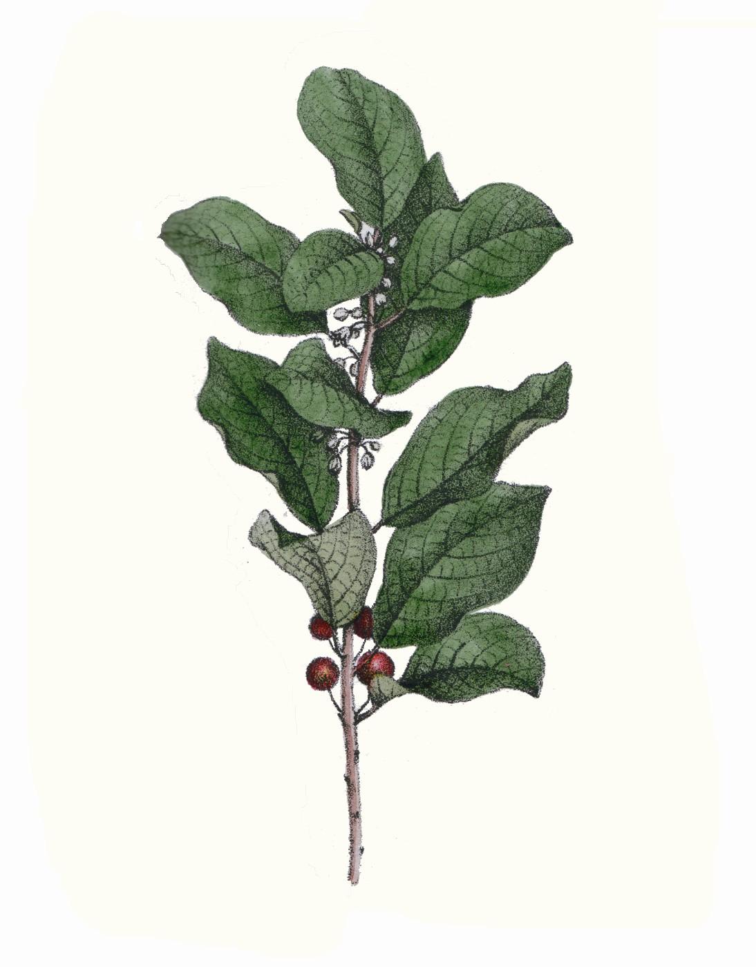 File:Rhamnus frangula L ag1.jpg.