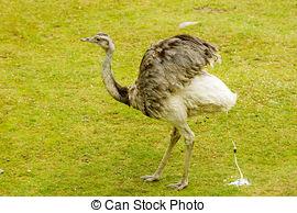 Picture of Greater Rhea Americana Nandu bird stands in a grassland.