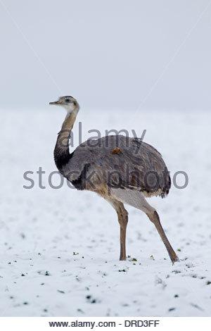 Nandu (rhea Americana), Greater Rhea (rhea Americana Stock Photo.