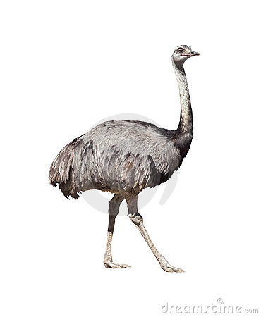 Rhea Americana Stock Photography.
