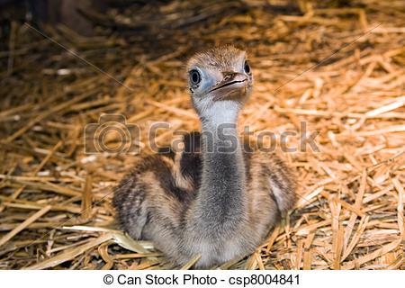 Stock Photography of Greater rhea (Rhea americana) chick.