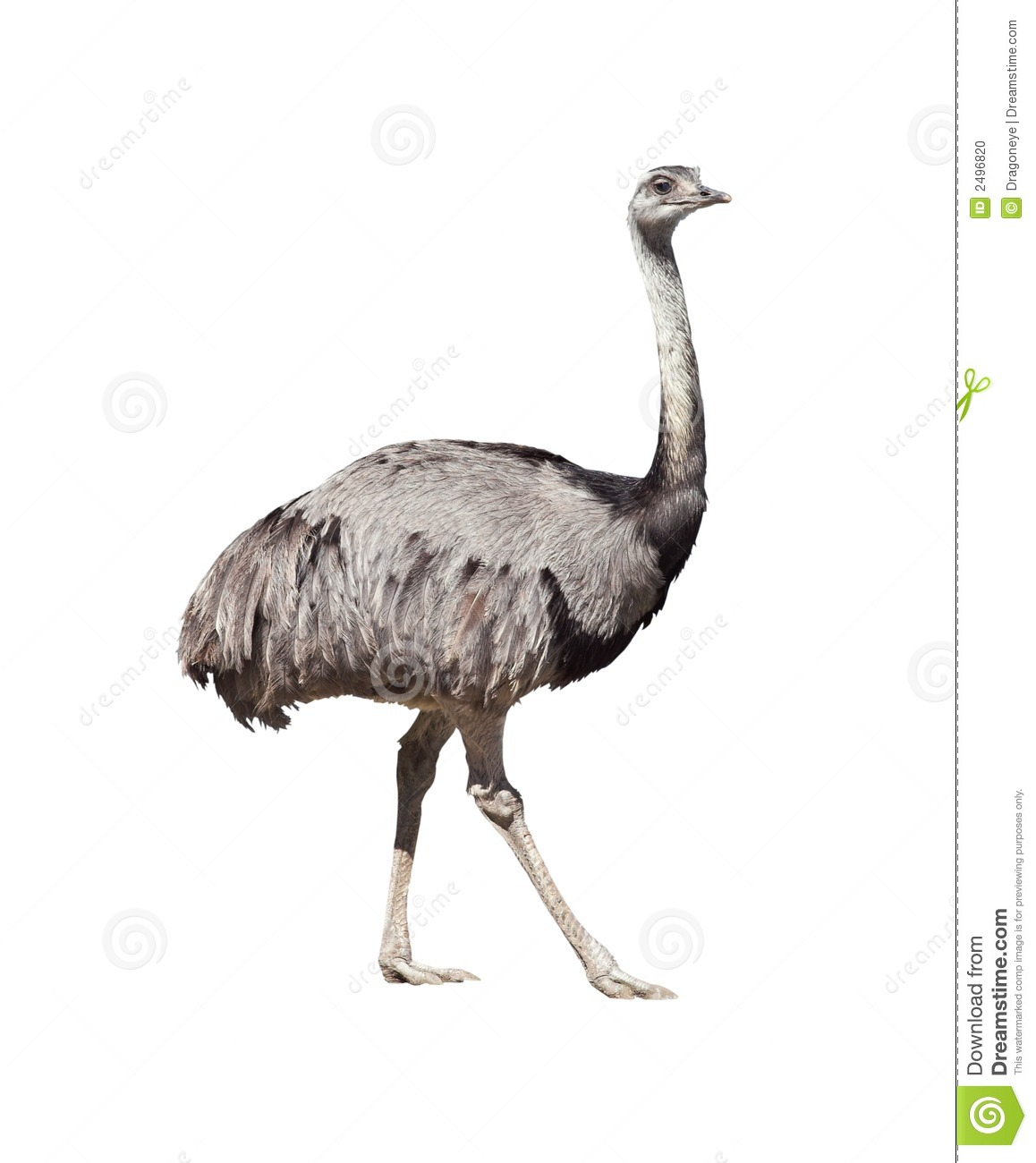 Rhea Americana Cutout Stock Photo.