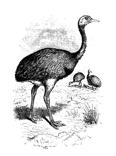 Rhea Flightless Bird Clip Art, Vector Images & Illustrations.