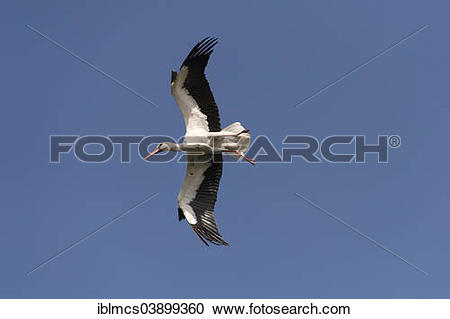 "Stock Photography of ""White Stork (Ciconia ciconia), Naturzoo."