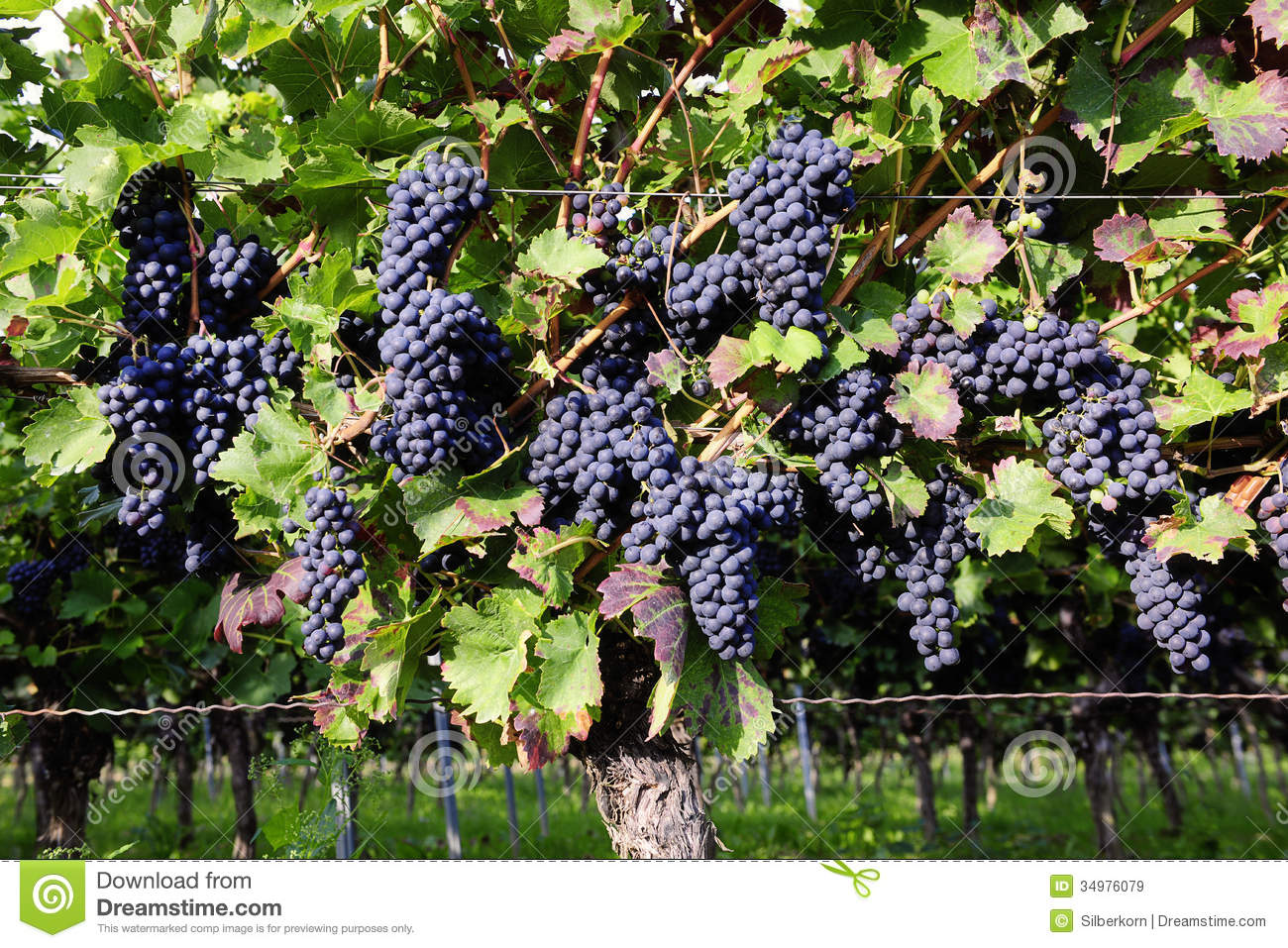 Pinot Noir Grapes In Rheinhessen, Germany Royalty Free Stock.
