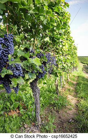 Stock Photo of Pinot Noir Grapes in Rheinhessen, Germany.