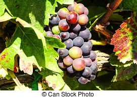 Stock Photography of Pinot Noir Grapes in Rheinhessen, Germany.