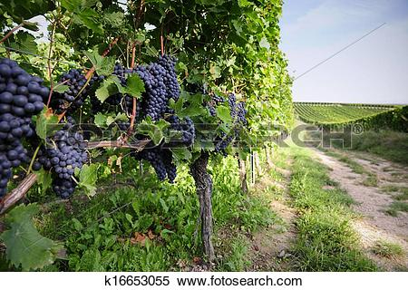 Stock Image of Pinot Noir Grapes in Rheinhessen, Germany k16653055.