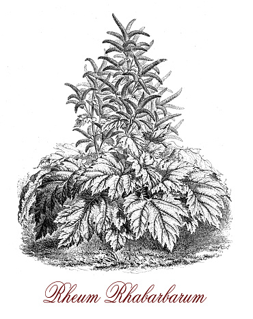 Rheum Rhabarbarum Or Rhubarb, Botanical Vintage Engraving Clip Art.