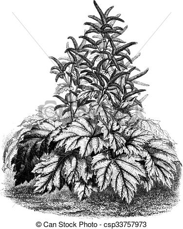 Vectors Illustration of Tibet Rhubarb (Rheum officinale), vintage.