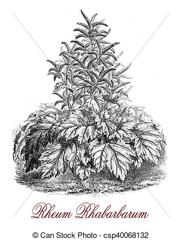 Drawings of Rheum rhabarbarum or Rhubarb, botanical vintage.