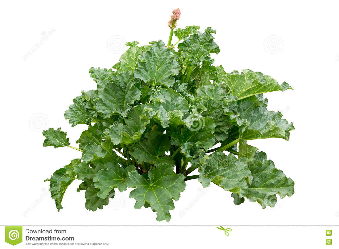 Rhubarb (Rheum Rhabarbarum L.) Plant Isolated On White Stock Photo.