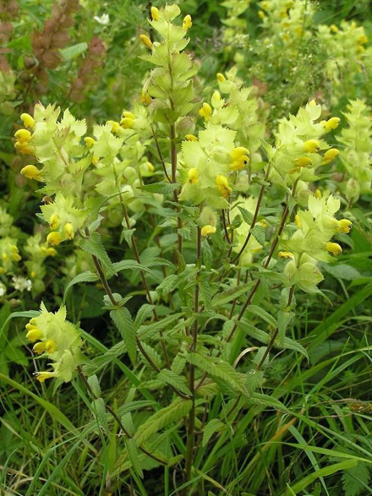 Rhinanthus alectorolophus (European yellow.
