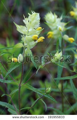 Hemiparasite Stock Images, Royalty.