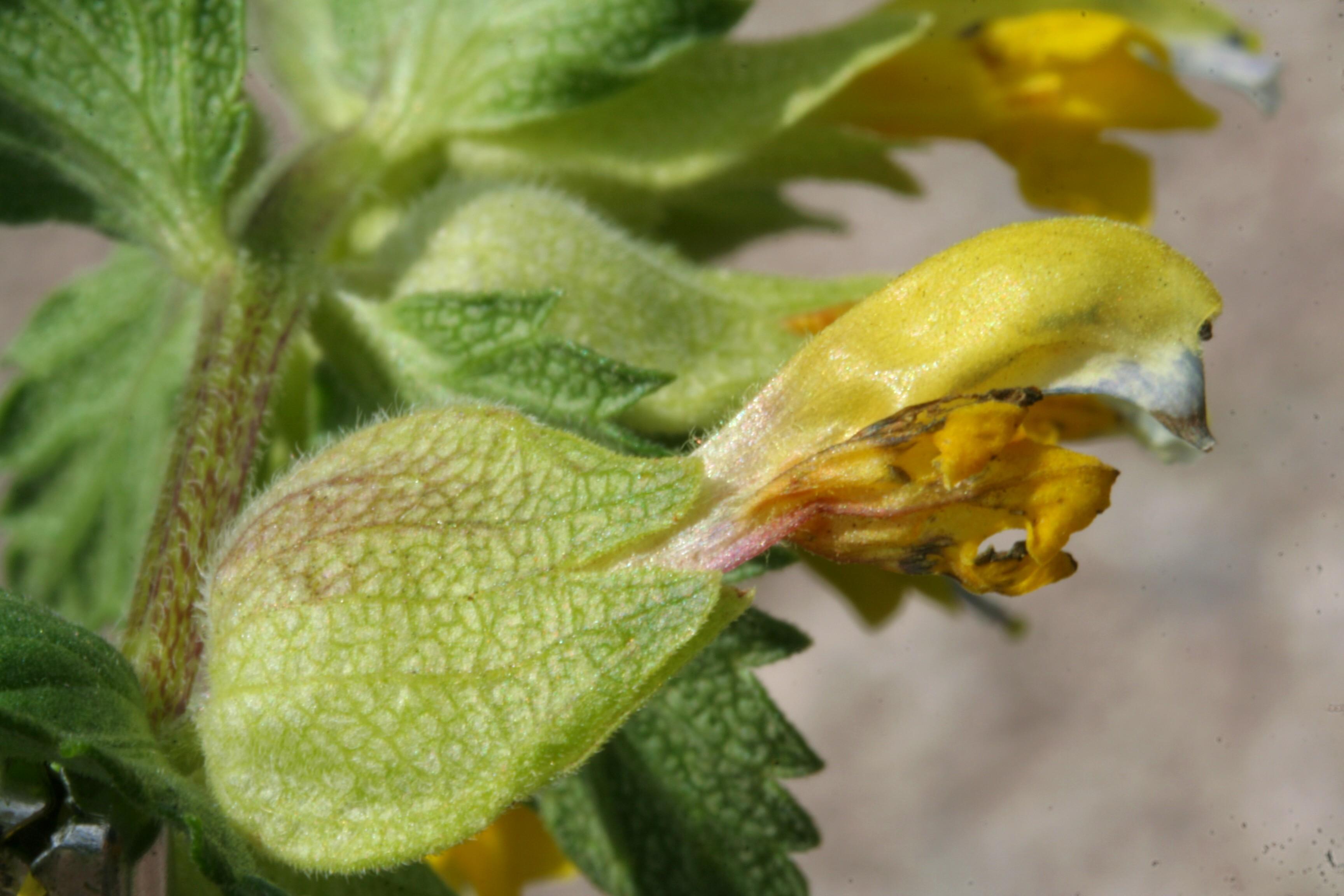 File:Rhinanthus alectorolophus ENBLA02.jpg.