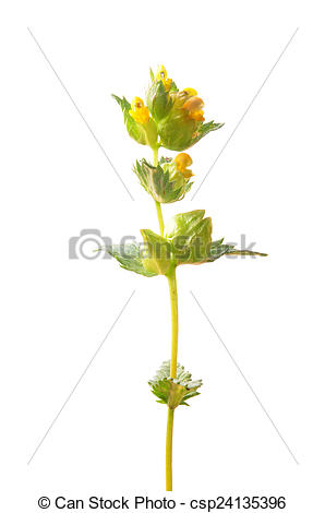 Stock Photographs of Yellow rattle (Rhinanthus minor) csp24135396.