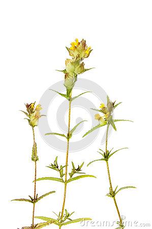 Yellow Rattle (Rhinanthus Minor) Stock Photo.