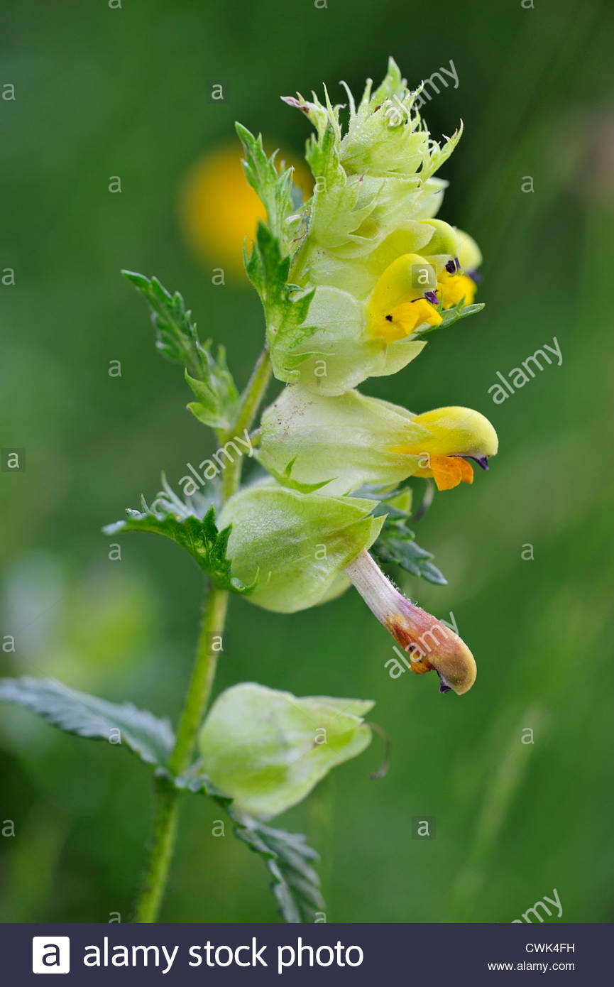 Yellow Rattle Stock Photos & Yellow Rattle Stock Images.