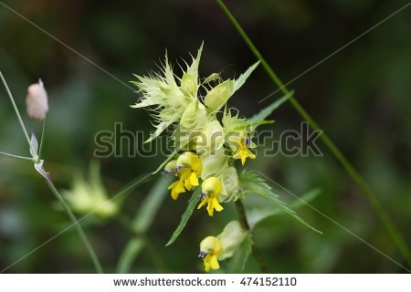 Orobanchaceae Stock Photos, Royalty.
