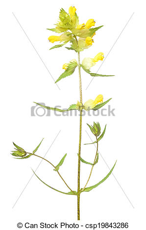 Pictures of Rhinanthus (Rattle) flower isolated on white.