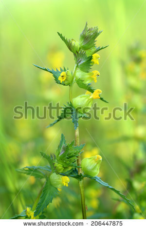 Rhinanthus Stock Photos, Images, & Pictures.