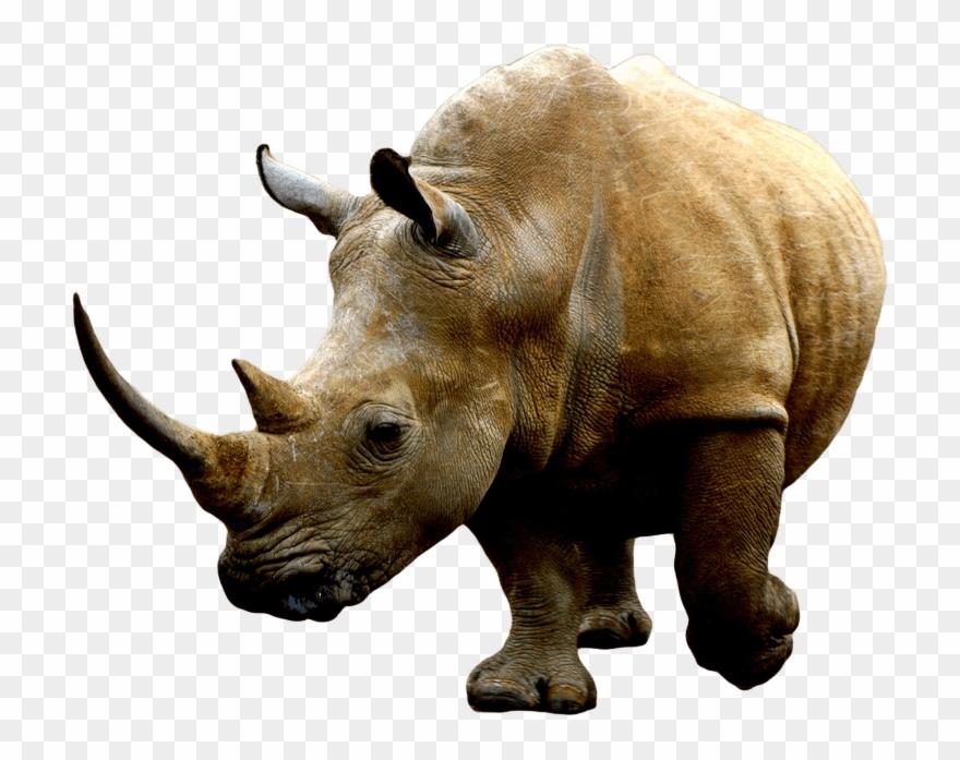 Brown Rhino.