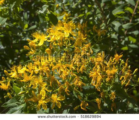 """perennial Herb"" Stock Photos, Royalty."