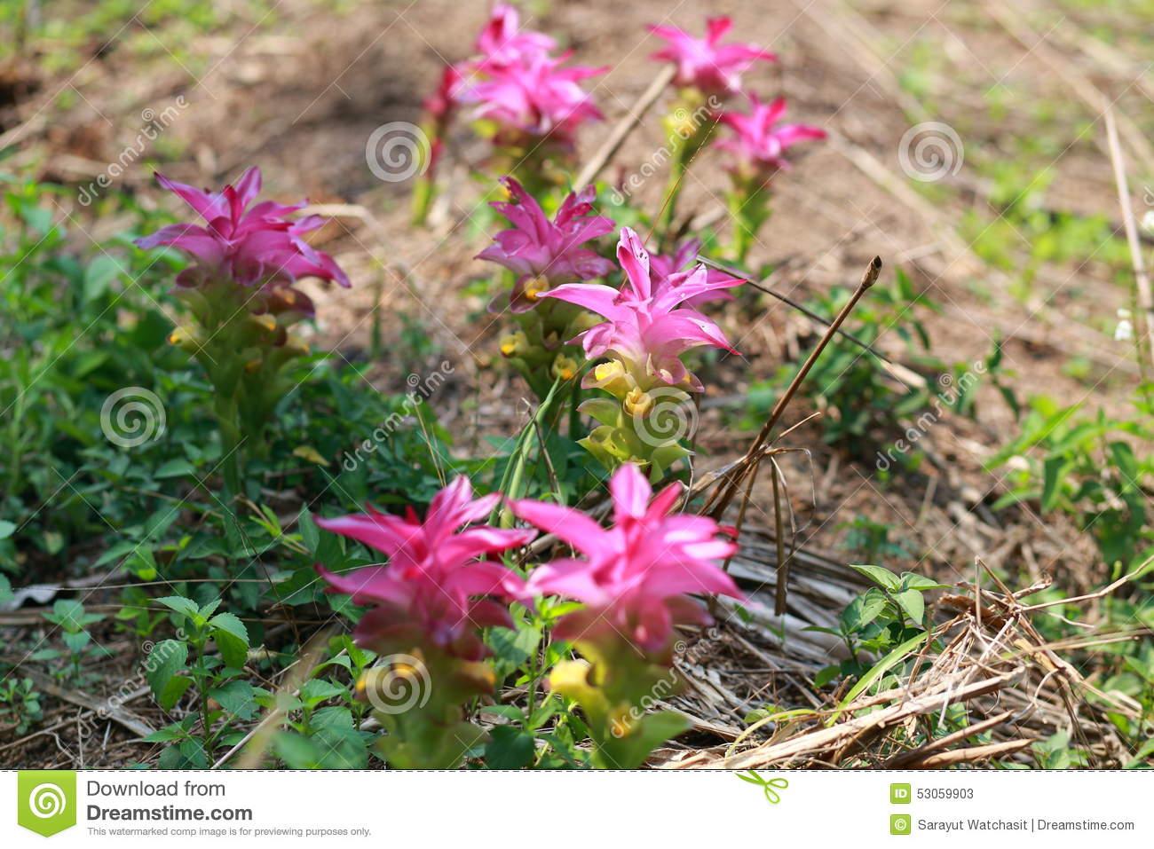 Turmeric Flower Stock Photo.